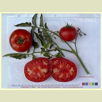 Abraham Lincoln Tomato Heirloom Open Pollinated Non