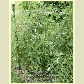 Anna Banana Russian Tomato Seeds Heirloom And Open