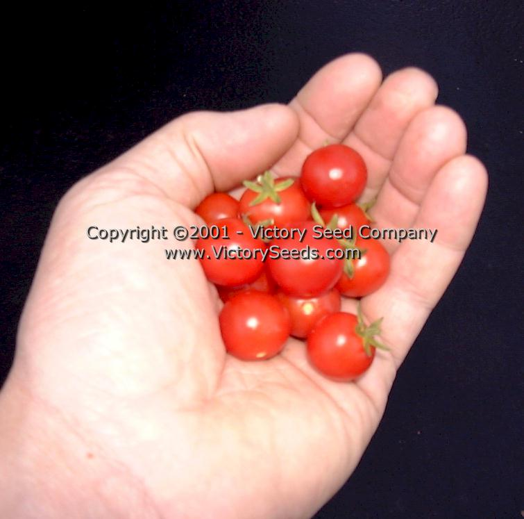 Red Currant Tomato Heirloom Open Pollinated Non Hybrid Victory Seeds