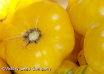 Dwarf CC McGee Tomato<br><b>Sold Out for 2019</b>