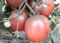 Dwarf Mary's Cherry Tomato