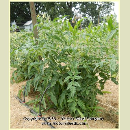 Dwarf Saucy Mary Tomato Seed - Heirloom, Open-Pollinated ...