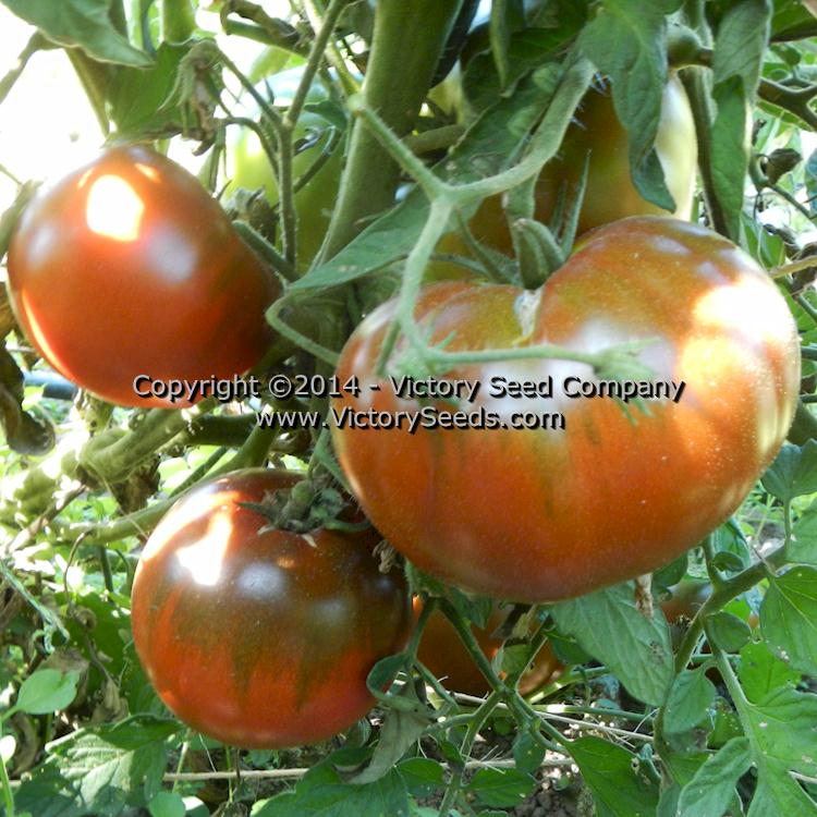 SEEDS of LIFE Heirloom tomato variety pack SURVIVAL SEEDS New varieties for 2020