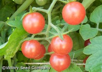 Ted's Pink Currant Tomato