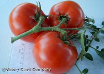Thessaloniki Tomato<br><b>Coming Soon</b>