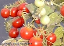 Tiny Tim Tomato<br><b>SOLD OUT for 2021</b>