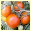 Variegated (Splash of Cream) Tomato