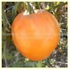 Livingston's Yellow Oxheart Tomato