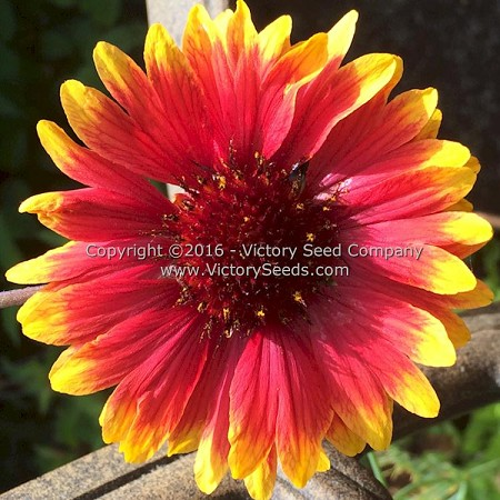 Blanketflower<br><i>Gaillardia arisata</i>