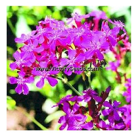 Sweet William Catchfly
