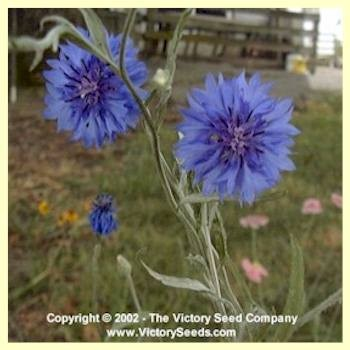 Cornflower, Blue (Bachelor Buttons)