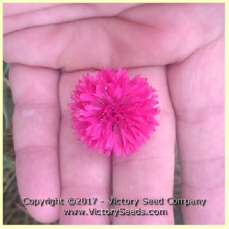 Red Cornflower Bachelor Buttons Centaurea Cyanus From Victory Seeds