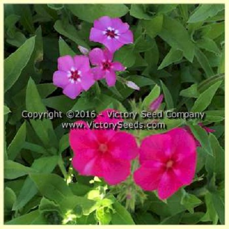 Drummond's Phlox - Grandiflora Tall Mix