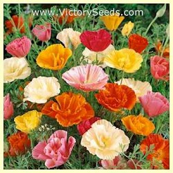 California Poppy, 'Mission Bells'