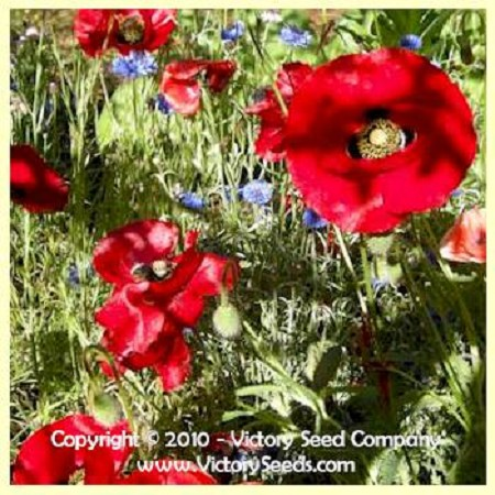 Red Corn Poppy Papaver Rhoeas From Victory Seeds