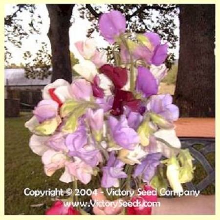 Sweet Pea, Royal Family Mix<br><b>SOLD OUT - Please Check Back</b>