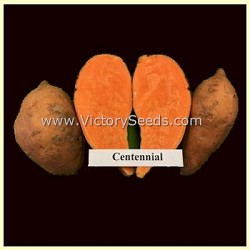 Centennial Sweet Potato Plants