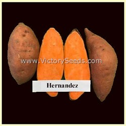 Hernandez Potato Plants