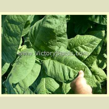Bafra Tobacco<br><b>SOLD OUT for 2020</b>