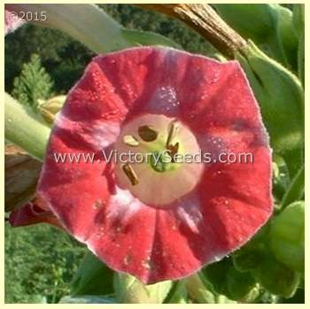 Red Russian Tobacco