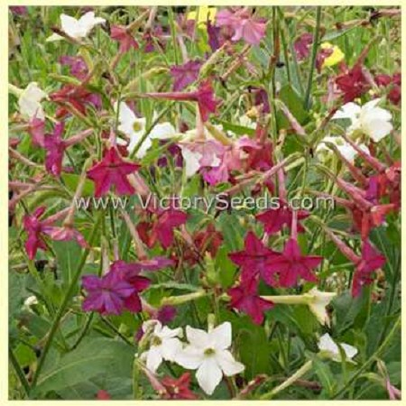 Sensation Mix Flowering Tobacco