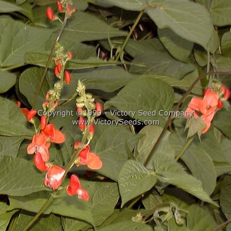 Scarlet Runner Bean<br><b>SOLD OUT - Please Check Back</b>