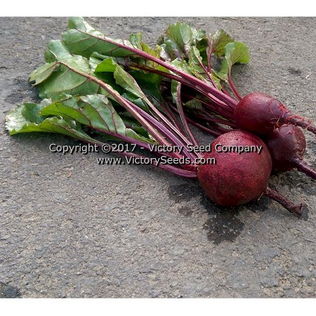 Detroit Dark Red Beet<br><b>SOLD OUT</b>