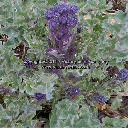 Early Purple Sprouting Broccoli