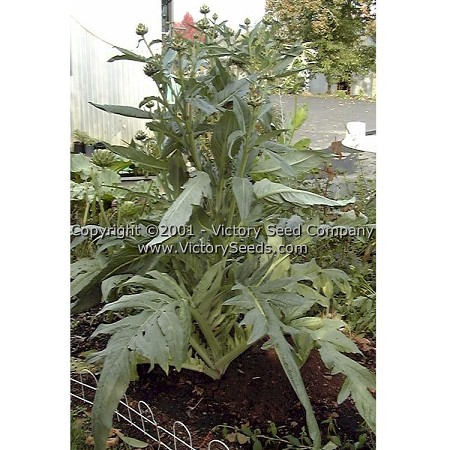 Tenderheart Cardoon