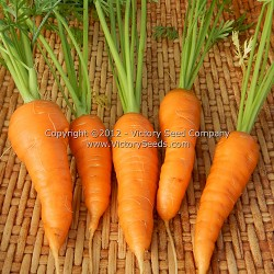 Chantenay, Royal Carrot