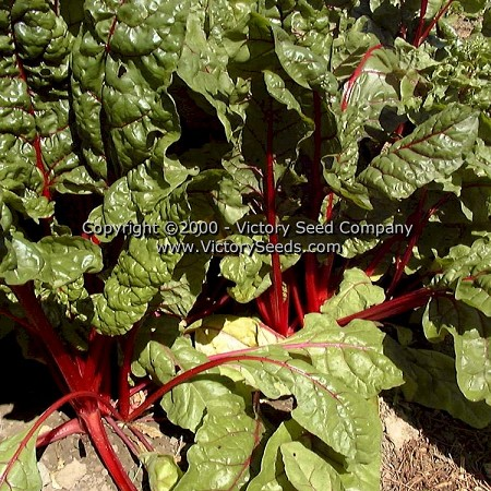 Ruby Red Swiss Chard