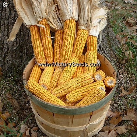 Jarvis Golden Prolific Yellow Dent Corn