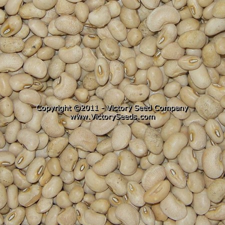 Cream 8 Southern Pea<br><b>SOLD OUT for 2020</b>