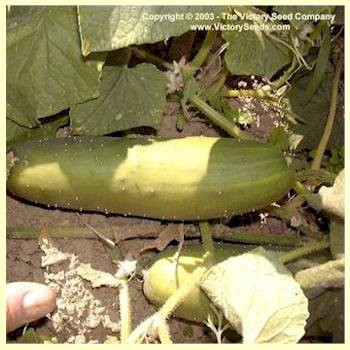 Poinsett 76 Cucumber