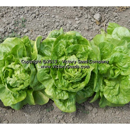 All Year Round Lettuce