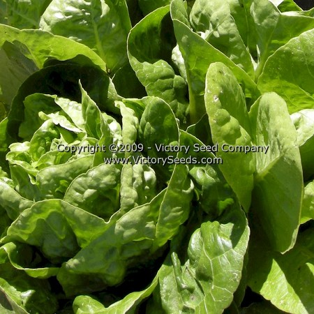 Little Gem Cos Lettuce
