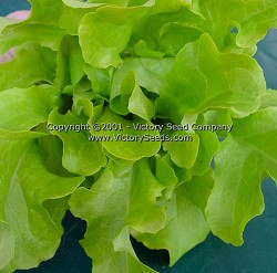 Salad Bowl, Green - Leaf Lettuce