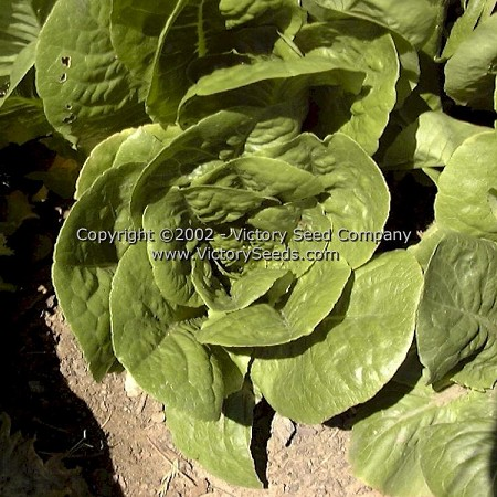 Winter Density Bibb-Romaine Lettuce