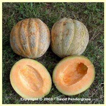 Osage Muskmelon<br></b>SOLD OUT for 2020</b>