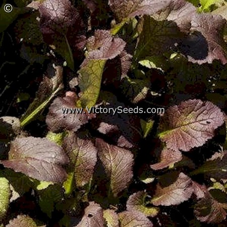 Red Giant Mustard Greens<br><b>Sold Out</b>