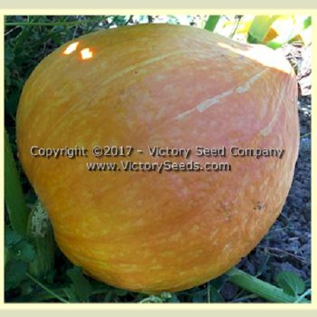 Golden Delicious - Winter Squash