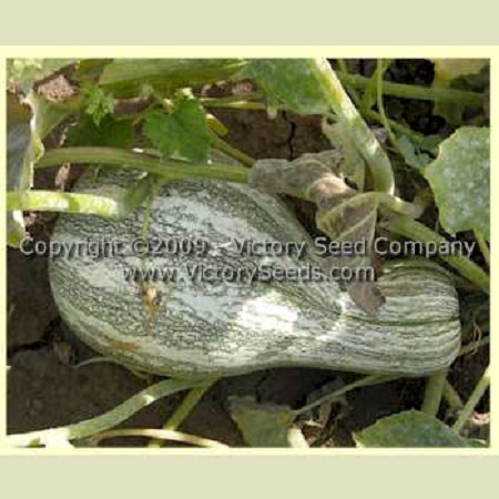 Green Striped Cushaw Squash