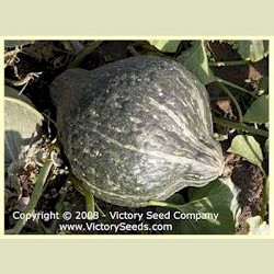 Hubbard, True Green Improved - Winter Squash