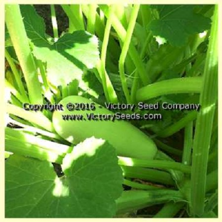 Lubnani Summer Squash<br><b>Sold Out for 2019</b>