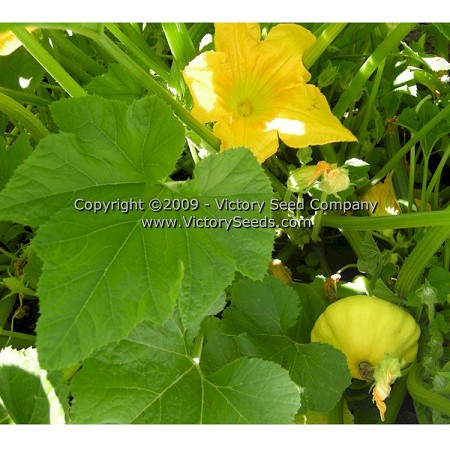 Yellow Bush Scallop Summer Squash
