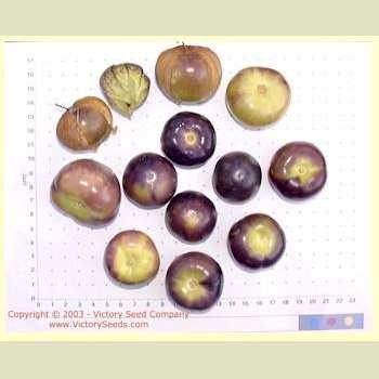 Morado Tomatillo (Purple Tomatillo)