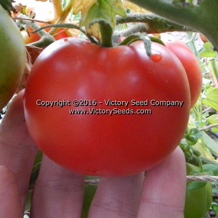 Bolgiano's Extremely Early 'I.X.L.' Tomato