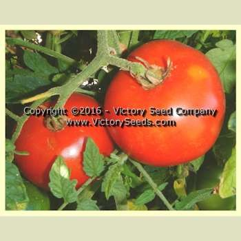 Chalk's Early Jewel Tomato