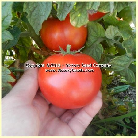 Clare Valley Red Tomato