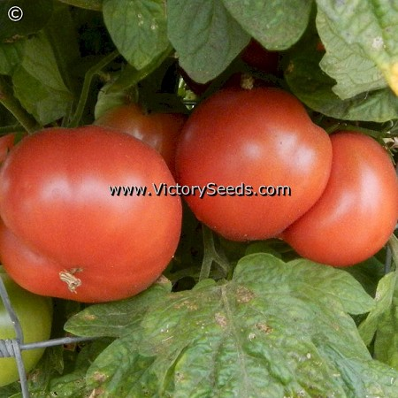 Coorong Pink Tomato